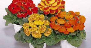 Несколько цветущих растений в горшках.