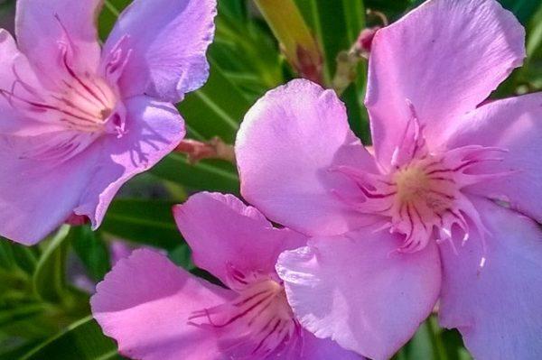 Ядовитые цветы комнатного растения.