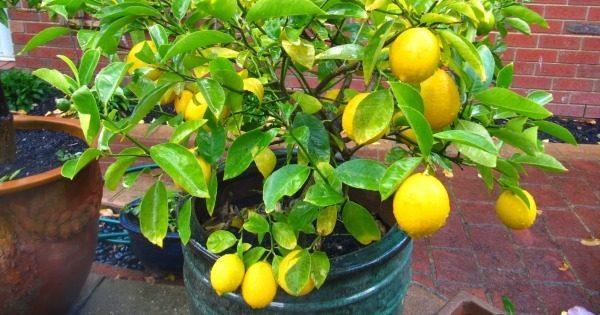 Плодоносящее лимонное дерево.