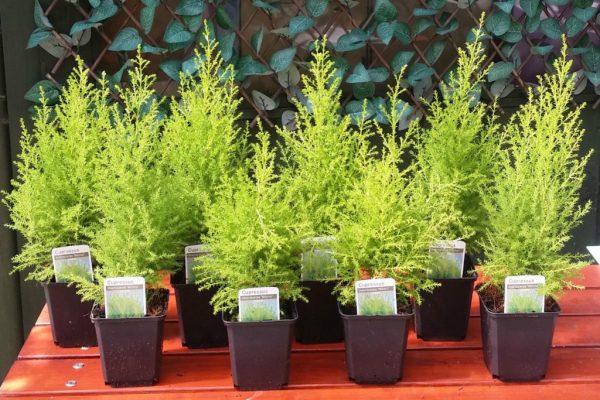 Специальные сорта кипариса для домашнего выращивания.
