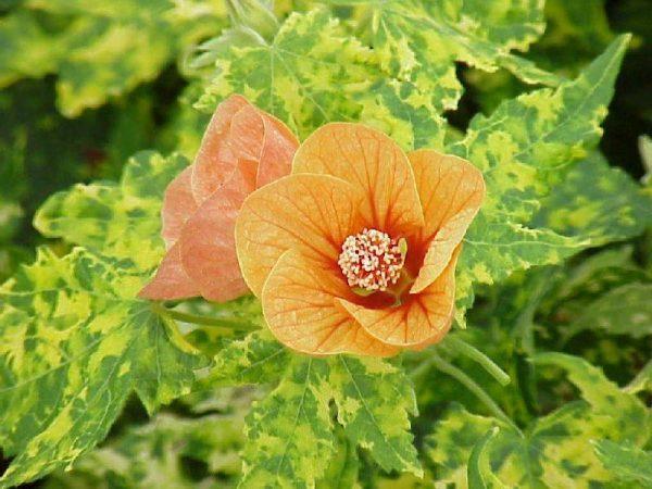 Оранжевая окраска венчика канатника ярко и весело смотрится на фоне пестрых листьев.