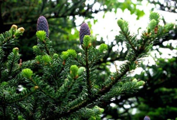 Шишки на хвойном растении.