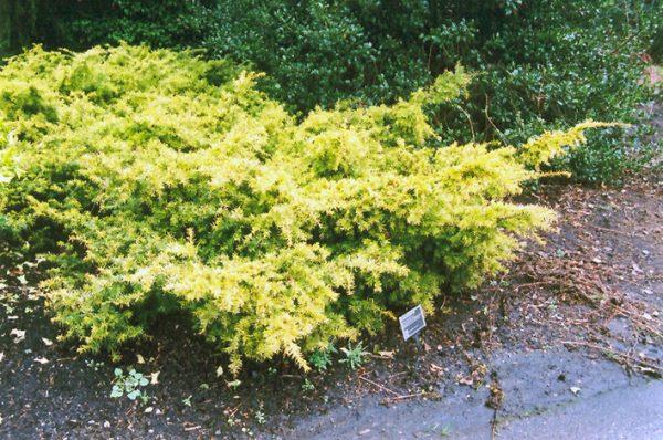 Хвойное карликовое деревце с желтоватой хвоей.