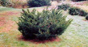 Хвойное карликовое деревце с приплюснутой кроной.