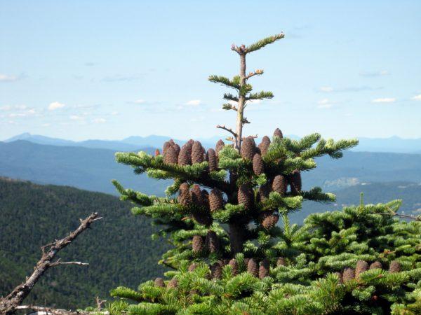 Хвойное дерево на фоне дикой природы.