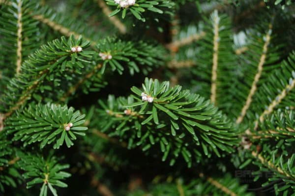Зеленая хвоя растения.