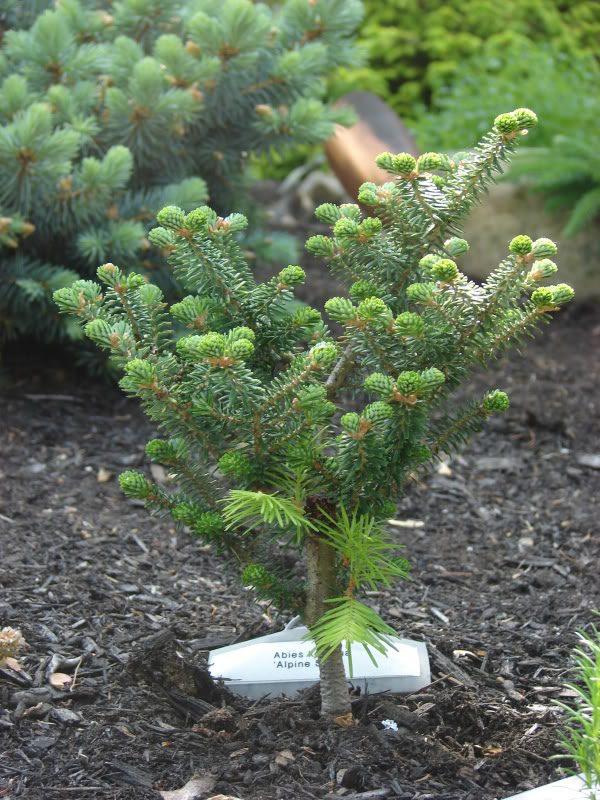 Подрощенное растение в питомнике.