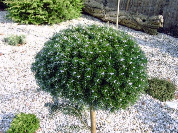 Штамбовое дерево.