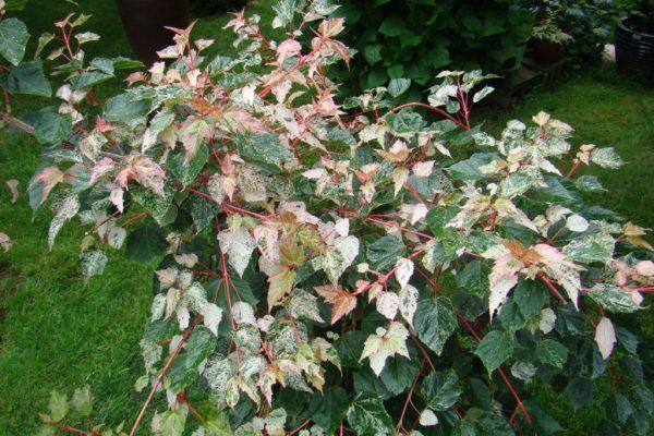 Листья с розовым оттенком.