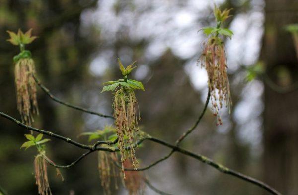 Соцветия на дереве в виде кисточек.