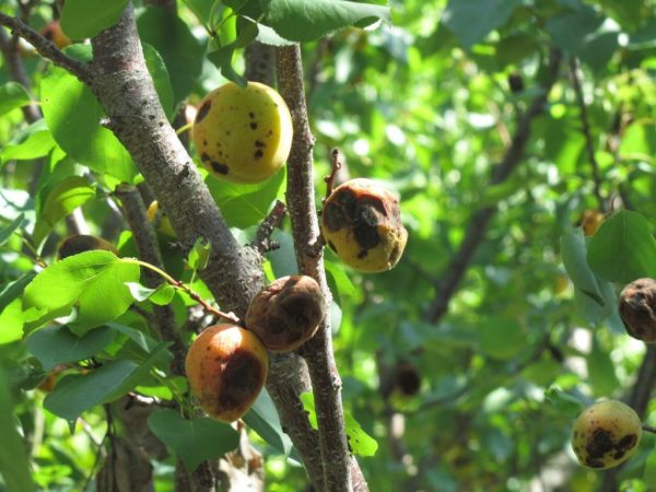 Вирусные болезни на абрикосовом дереве.