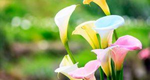 Разноцветные каллы цветут летом