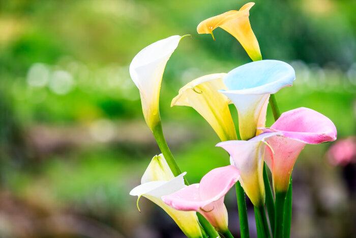 Цветок похожий на каллу белый название — Цветы365