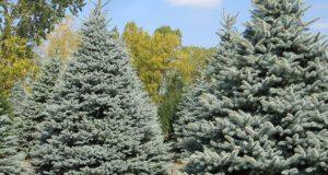 Голубая высокая ель растет в природе.