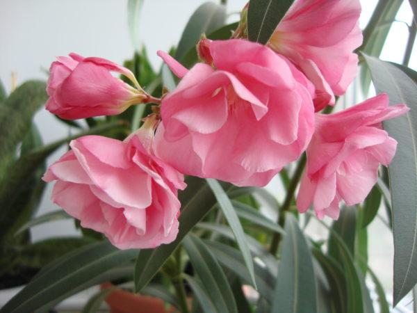 Цветение ядовитого растения.