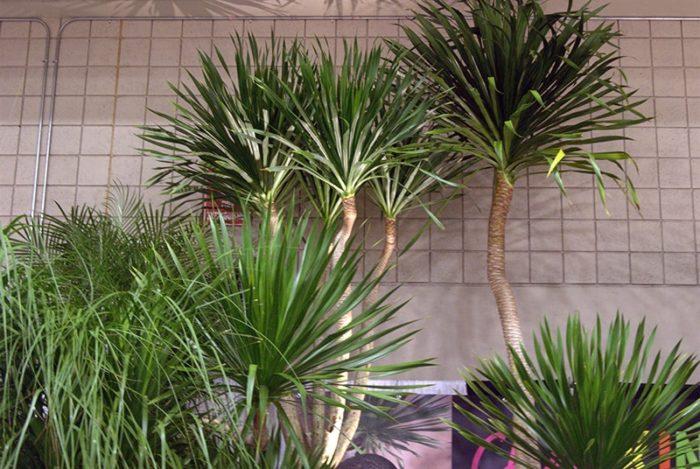 Цветок пальма драцена как размножить уход в домашних условиях