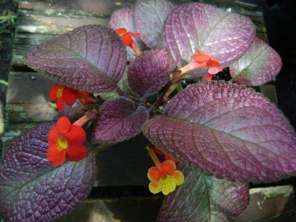 Листья с фиолетовым оттенком и яркие цветки.