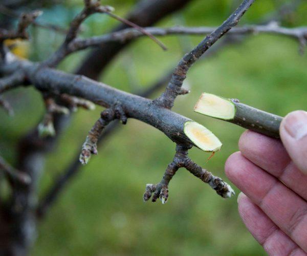 Размножение абрикоса путем прививания.