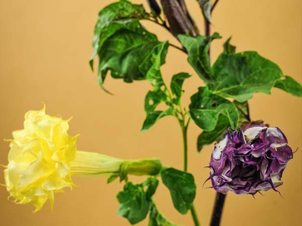 Желтые и фиолетовые соцветия дурмана.