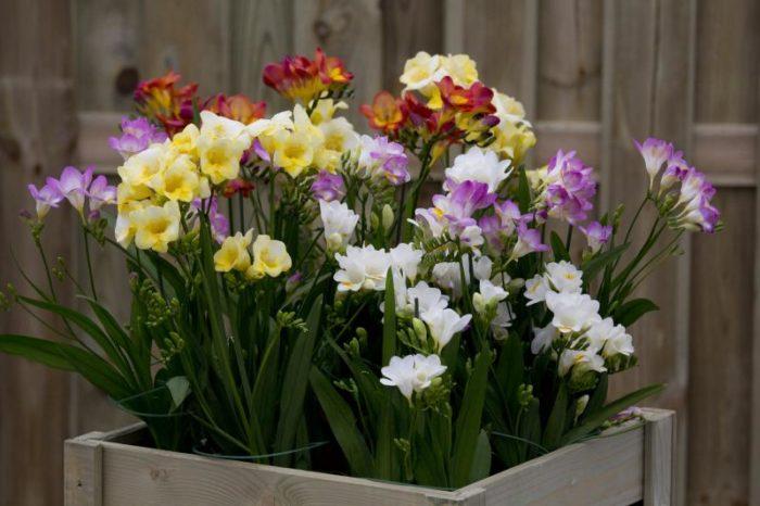 Фрезия выращивание и уход за растением