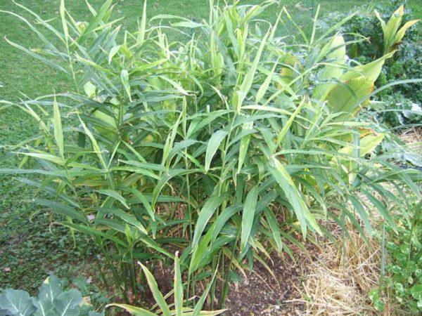 Растение в открытом грунте.