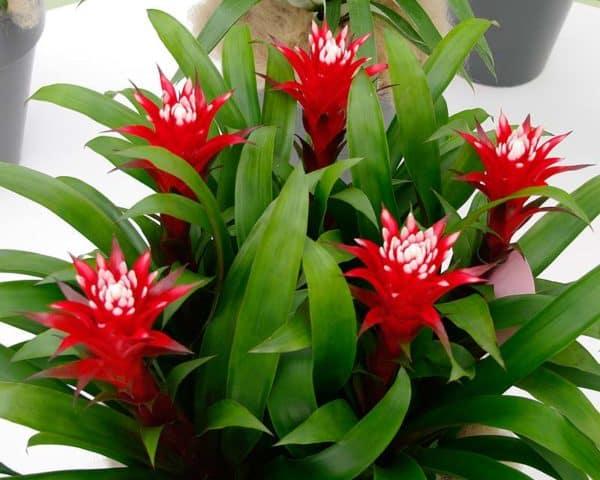 Красные соцветия растения.