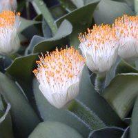 Пышные соцветия растения.