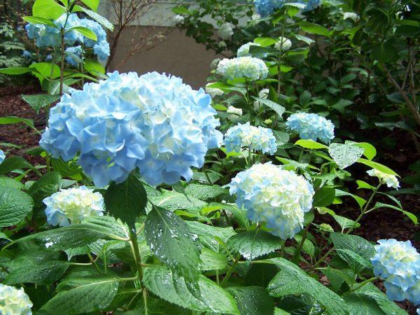 цветение гидрангеи
