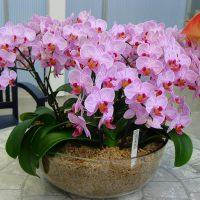 Цветущая орхидея в интерьере помещения.