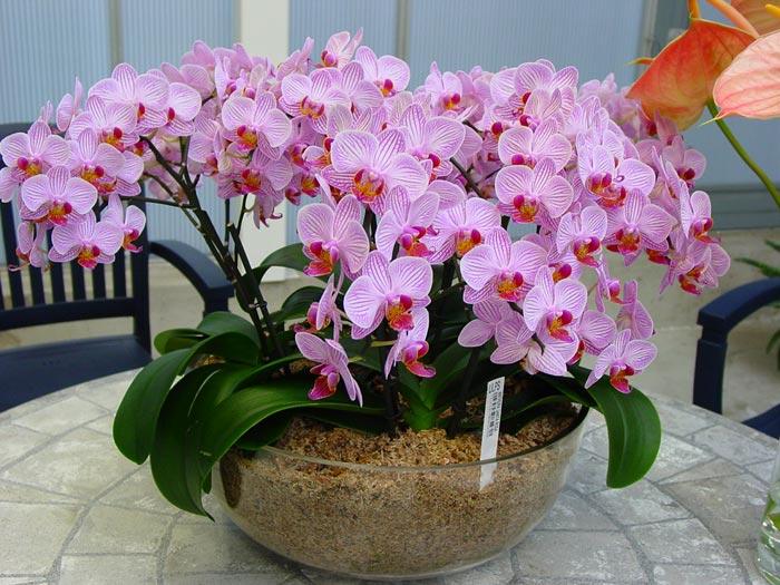Все об орхидеях фаленопсис в домашних условиях