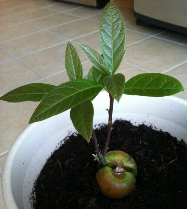 Молодое растение авокадо нельзя сажать в очень большой горшок.