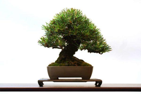 Дерево, оформленное в стиле бонсай.