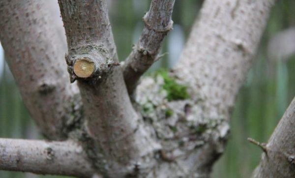 Обрезка ветвей у дерева для формирования кроны.
