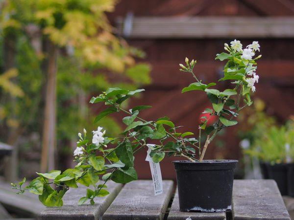В теплое время года горшок можно выносить на свежий воздух.