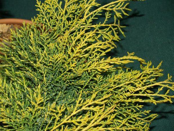 Листья кипариса желтеют из-за ошибок в уходе.