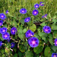 Голубые соцветия лианы.