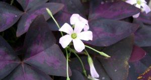 Фиолетовые листья кислого растения.