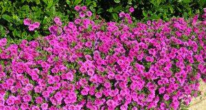 цветение петунии садовой