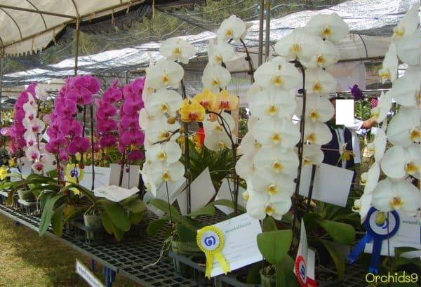 Цветущие представители орхидей.