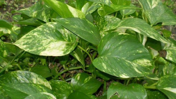 Лиана с вариегатными листьями.