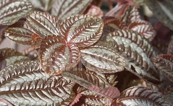 Красивые листья пилеи красно-коричневого цвета.