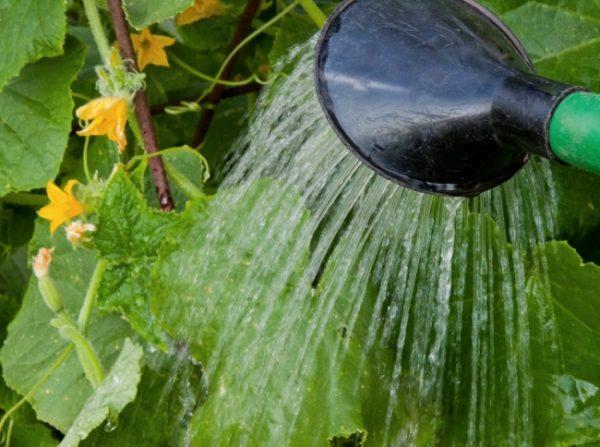 Поливайте овощи отстоянной водой.