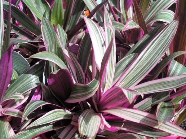 Здоровые листья цветка послужат украшением любому интерьеру.
