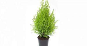 Компактное растение для выращивания в горшке.