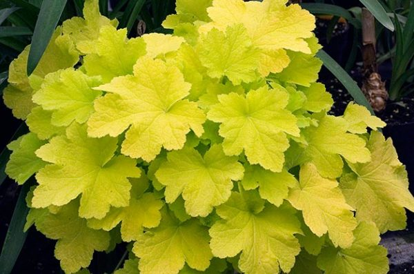 Растение с желтыми листьями.