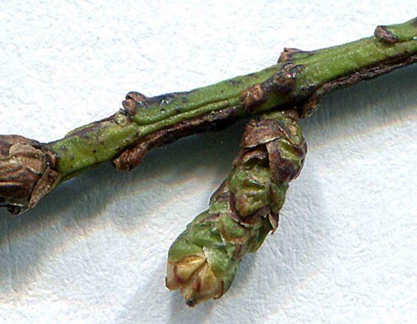 Грибковое заболевание на побегах дерева.