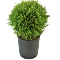 Хвойное растение в горшке.