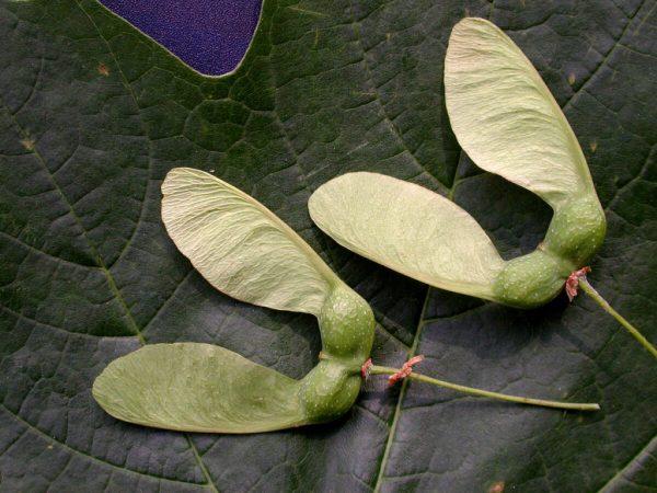 Семена-крылатки кленового дерева.