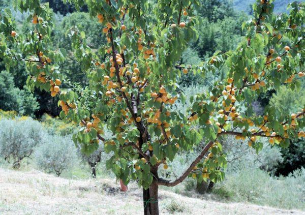 Абрикос плодоносит в летние месяцы.