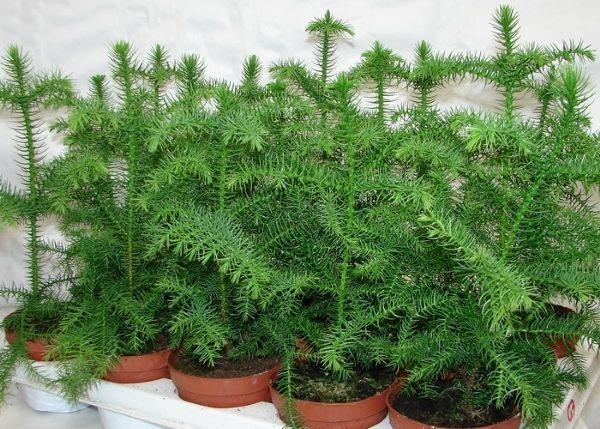 Уход за растением в домашних условиях не сложен и не занимает много времени